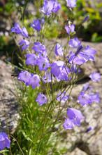 Campanula Rotundifolia Or Harebell Blue Alpine  Flowers Vertical