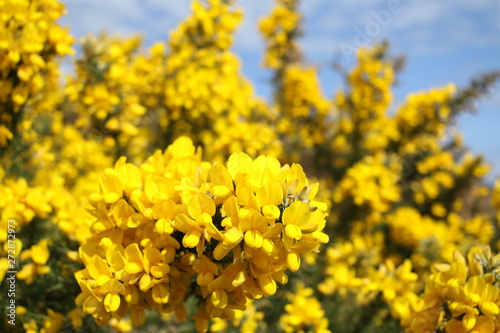 Yellow blooming Broom on the beach near Brodick, Isle of Arran, Sotland, United Wallpaper Mural