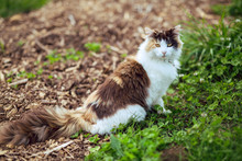 Fluffy Calico Cat Outside On A...