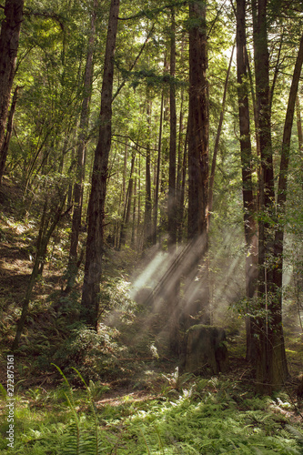 Fototapeten Wald Fog and light rays in the redwood forests of Northern California