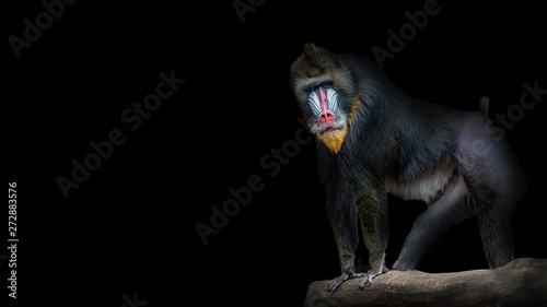 Fotografia Portrait of big colorful and curious African mandrill, an alpha male at black ba