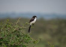 Fiscal Shrike, Long-Tail Fiscal Shrike (Lanius Cabanisi), Nairobi National Park