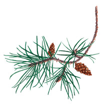 Isolated Element Pine Branch And Cones.