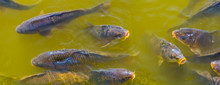 Closeup Of Common Carps Swimming In The Water, Hungry Fishes Coming With Their Mouths Above The Water, Popular Fish Specie From Europe