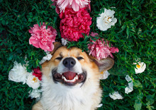 Cute Red-haired Puppy Of The Corgi Dog Lies On A Natural Green Meadow Surrounded By Lush Grass And Flowers Of Pink Fragrant Peonies And Happy Of Smiles