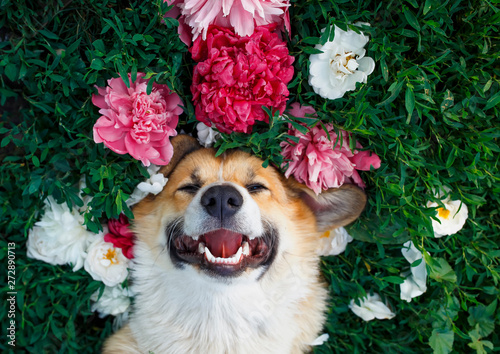 Fototapeta cute red-haired puppy of the corgi dog lies on a natural green meadow surrounded by lush grass and flowers of pink fragrant peonies and happy of smiles obraz