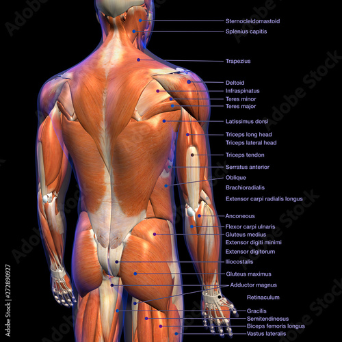 Fotografie, Tablou  Labeled Anatomy Chart of Male Back Muscles on Black Background.