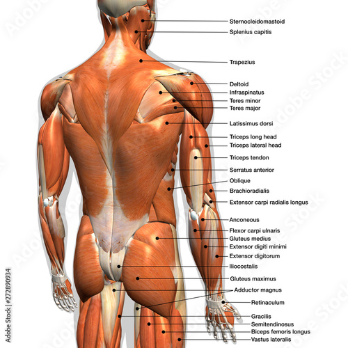 Labeled Anatomy Chart of Male Back Muscles on White Background. Tablou Canvas