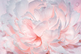 Abstract background with flowers. Light gentle pink background from peony petals. Peony flower in dew drops close up. Peony in drops of water, close-up.