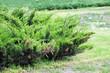 Leinwandbild Motiv Green Chamaecyparis plant