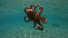 Underwater Photo Of Small Octopus In Tropical Sandy Turquoise Sea Bay
