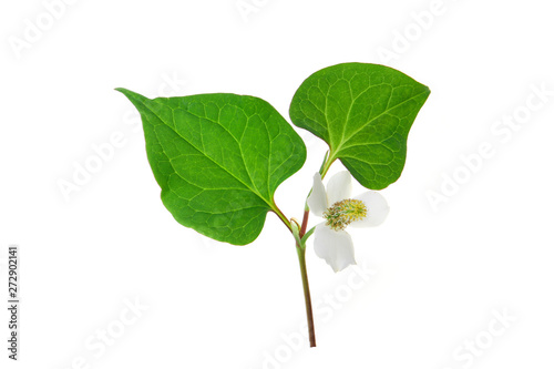 Photo  flower of houttuynia on a white background