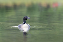 Loon On Calm Waters
