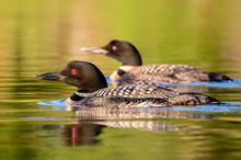 Pair Of Common Loons