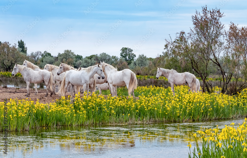 Fototapety, obrazy: White Camargue horses in southern France