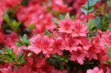 Close Up On Blooming Purple Rh...
