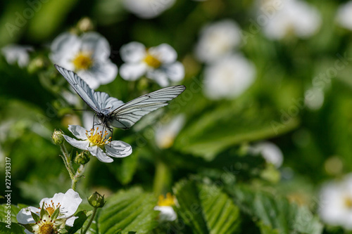Photo Butterfly aporia Crataegi on the flower.2