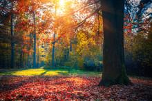 Sunny Oak Tree In The Autumn F...