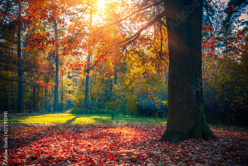 Foto auf AluDibond Grau Verkehrs Sunny oak tree in the autumn forest