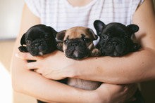 Three Beautiful French Bulldog Puppies Sitting On The Hands Of A Girl. Puppies Are Looking Towards The Camera.