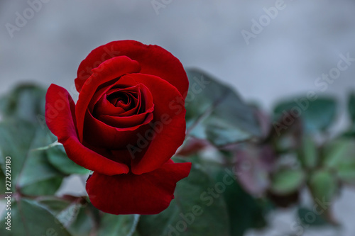 beautiful red rose flower close-up. flower  Vintage filter effects