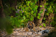 A Mating Pair Of Tigers Restin...