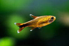 Aquarium Fish Silver Tipped Te...