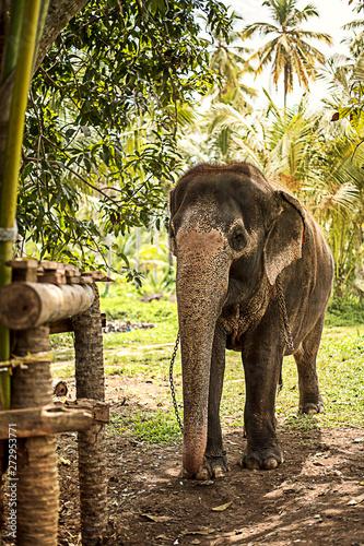Cuadros en Lienzo Beautiful elephant in the jungle of Sri Lanka