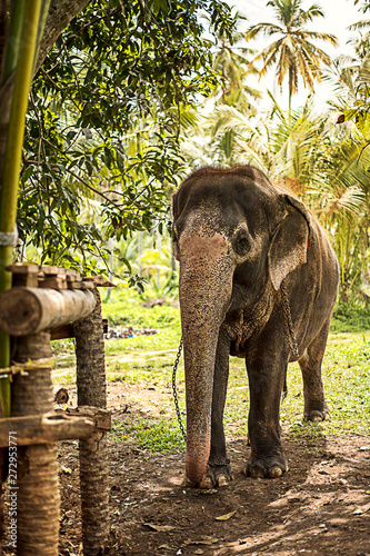 Fototapeta Beautiful elephant in the jungle of Sri Lanka