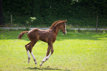 Playful Young Foal Running In ...