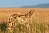 Fototapeta Sawanna - Cheetah in the savannah