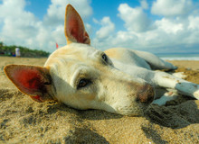 Close Up Portrait Of Young Happy And Sweet White Dog Playing Alone In The Beach Lying Relaxed On Sand Under A Blue Sky