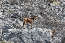 Deer In The National Park Of Picos De Europa, Cantabria, Spain.