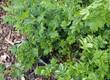 canvas print picture - Süßholz - Glycyrrhiza echinata