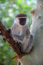 Vervet Monkey In Lake Chamo Na...