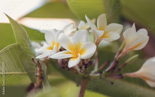 Tuinposter Frangipani White plumeria flower with shallow focus in nature garden. Ethiopia