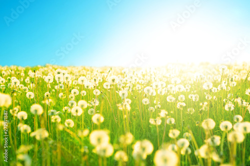 Fototapety, obrazy: Dandelion on the meadow at sunlight background in springtime. Dandelions in meadow during sunset. Dandelion on the meadow at sunlight background in springtime