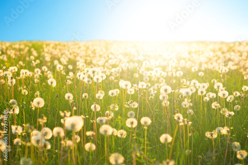 Fototapety, obrazy: Dandelion on the meadow at sunlight background in springtime. Dandelions in meadow during sunset.