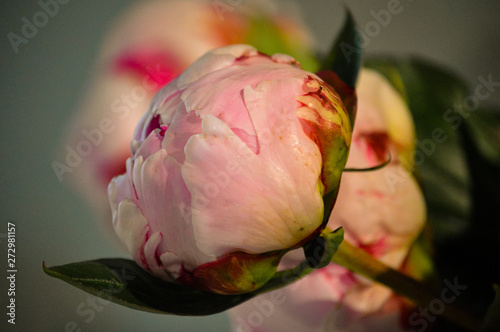 Fotografie, Obraz  Closeup of a pale pink Peony or Paeony head with dark pink guard petals