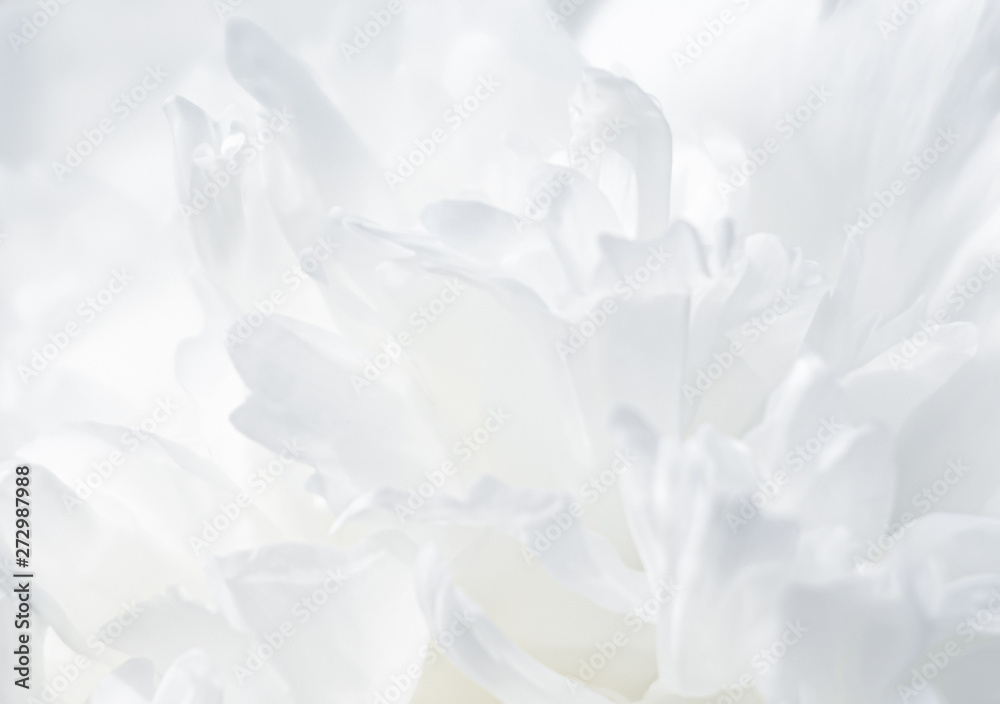 Fototapety, obrazy: blooming peonies in the garden