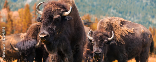 Spoed Fotobehang Buffel American Bison or Buffalo Panorama Web Banner