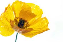 Bright Yellow Poppy.