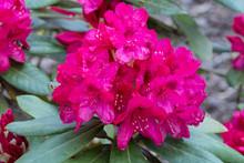 Purple Rhododendron Nova Zembla