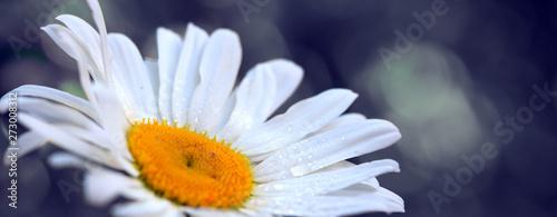 Macro Shot of white daisy flower isolated on gray background.