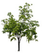 Beautiful tree isolated on white background. Suitable for use in architectural design or Decoration work.