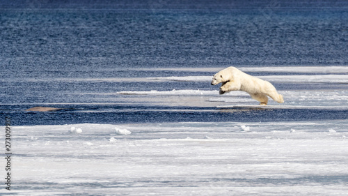 Young polar bear takes on a beluga whale Canvas Print