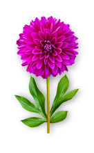 Combined Unusual Dahlia Flower. Purple Dahlia With Peony Leaves. Art Object On A White Background.