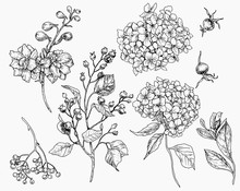 Botany Biology Berries Branches Leaves Line Graphics Beautiful Sketching Vector Graphics