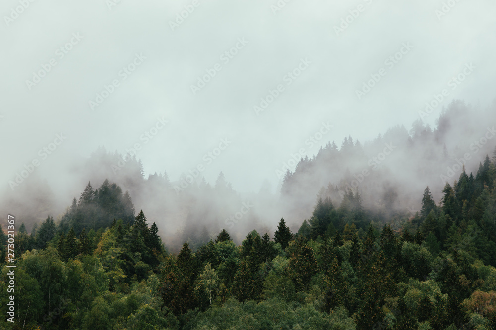 Las z gęstą mgłą rano.