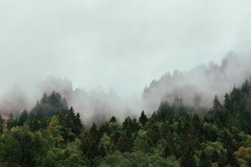 Fototapeta Las Forest with dense fog in the morning.